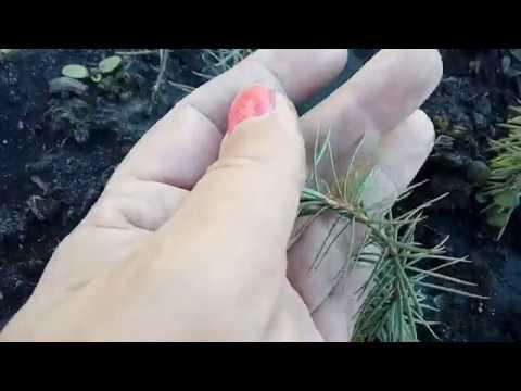 13 часть. Эксперимент по выращиванию хвойников из семян. Сентябрь, подросли ли за 2,5 месяца