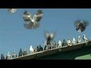 Старониколаевские торцовые голуби.Фильм 1