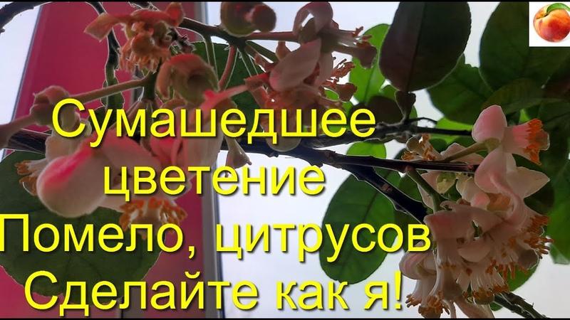 Помело Сумашедшее цветение помело бергамот цитрусы Будут цвести как бешенные делайте как я