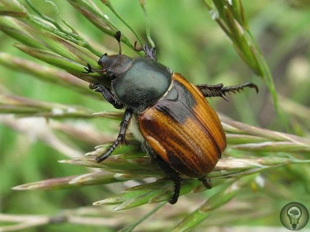 Хлебный жук  враг урожая