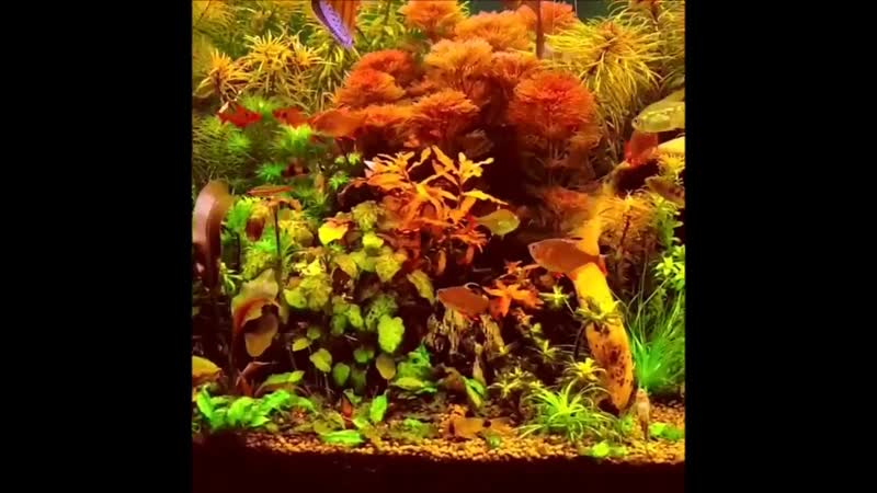 A Dream of a planted Discus Tank stocked with Wild Discus and Altums. Thanks Refael Hudera