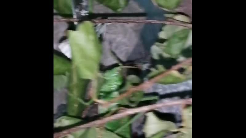 Кормление Tettigonia viridissima имаго капустницы