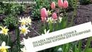 Посадка тюльпанов осенью в посадочную корзину для луковичных.А весной сад порадует яркими красками