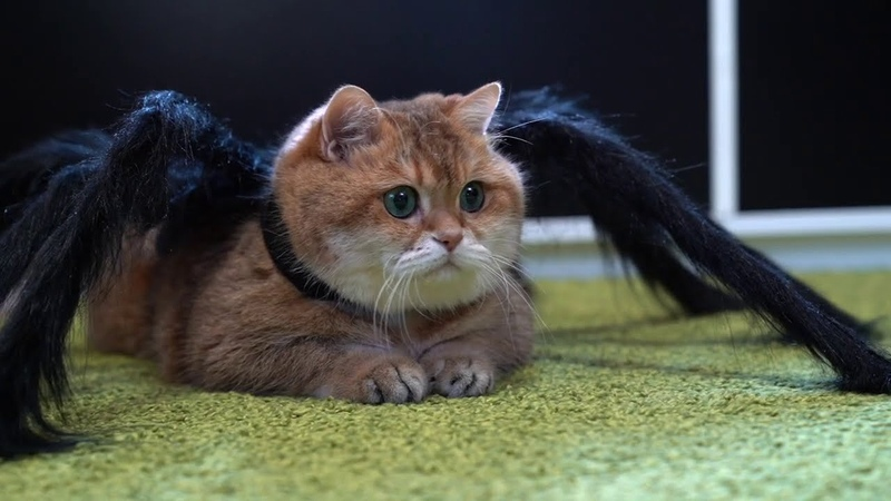 It's hard to be a spider cat on Halloween