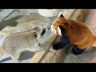 Red Panda Meets With Raccoon Friend, Wanders Freely Around Zoo