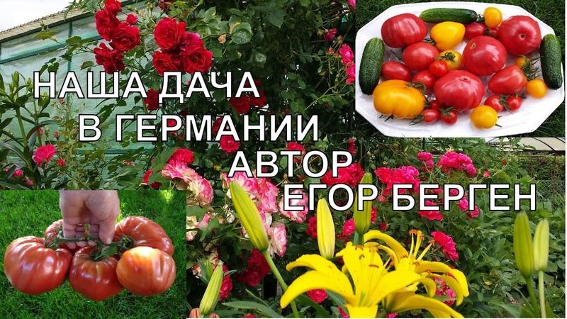 Наша дача Берген Егор Gerhard Bergen Помидоры томаты около 1 5 кг огурцы море цветов