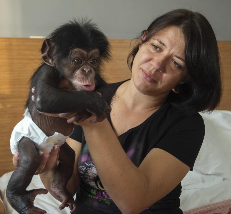 Беби-бум в зоопарке Крымского отеля продолжается: на свет появился четвёртый детёныш шимпанзе, изображение №2