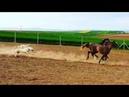 AKBAŞ Türk KENNEL Akbash kangal caucasianShepherd alabai wolfkiller LGD dogs shepherd