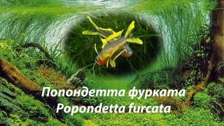 Попондетта фурката / Popondetta furcata #Popondetta furcata #попондеттафурката #попондетта