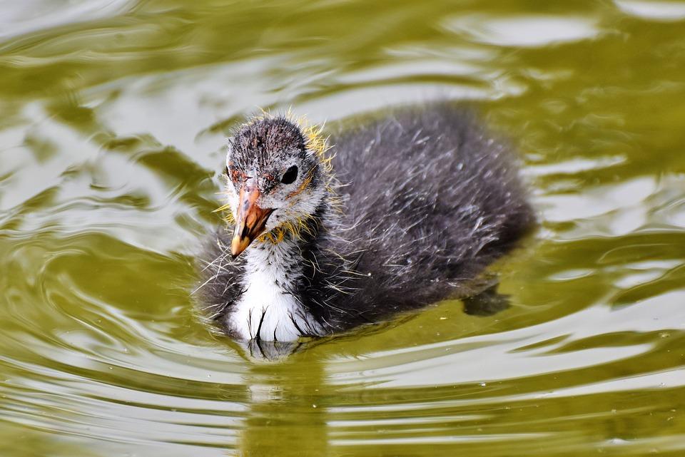 Три редких вида водоплавающих птиц появились на водоемах природно-исторического парка «Кузьминки-Люблино»