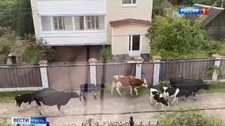 Под Тверью стадо коров устроило утренний променад