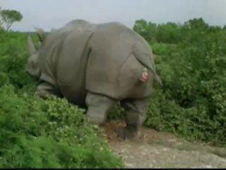 Эйс Вентура вылазит из носорога