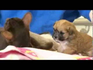 Shih tzu puppy 'adopted' by Siamese cat mother