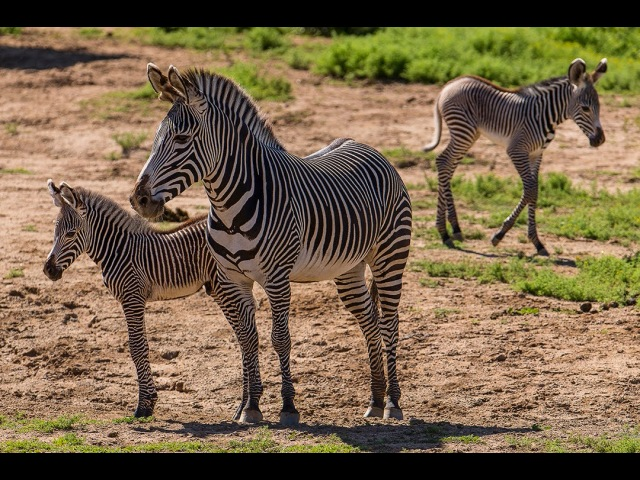 Two Grevy's Zebra Births Add to Endangered Population