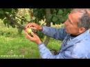 Как правильно хранить яблоки divx