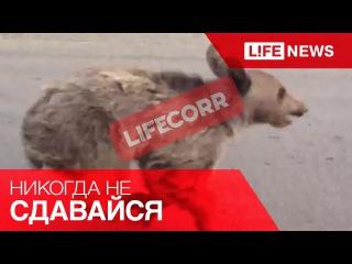 Маленький медвежонок попытался убежать от спасателей