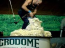 стрижка овцы