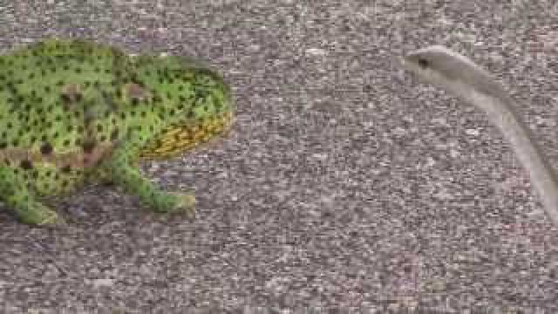 Boomslang snake attacks chameleon in Kruger surprising ending