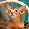 Абиссинские кошки. Питомник Abylife.