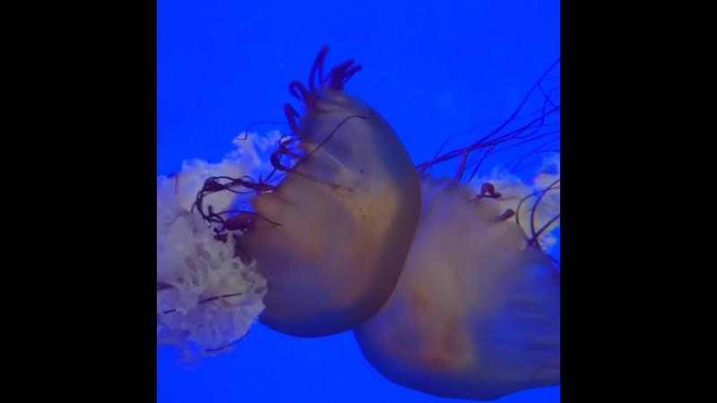 Pacific Sea Nettle Chrysaora Fuscescens Shanghai Ocean Aquarium China