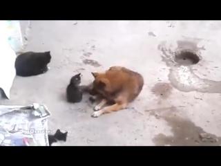 Кошка знакомит котят с другом-собакой