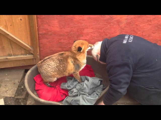 Fox who loves the man who saved