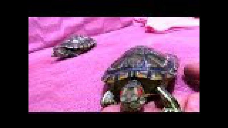 Kırmızı Yanaklı Su Kaplumbağalarımızın Ev Gezmesi ve Elma yeme mücadelesi