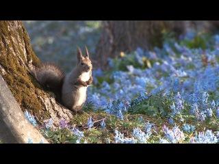 Wind and spring Scriurus vulgaris orientis and adonis