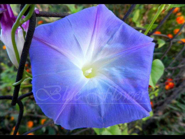 Blue Flower O beauty infinity Music of Sri Chinmoy