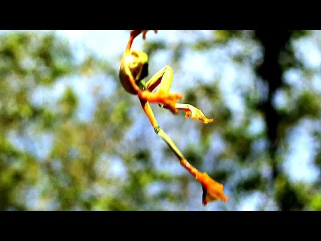 Яванская летающая лягушка Полет лягушки Rhacophorus reinwardtii green flying frog