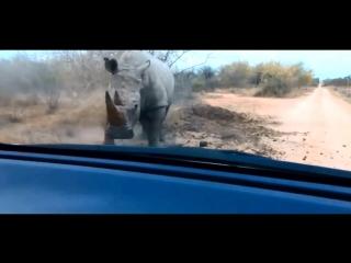 нападение носорога на машину