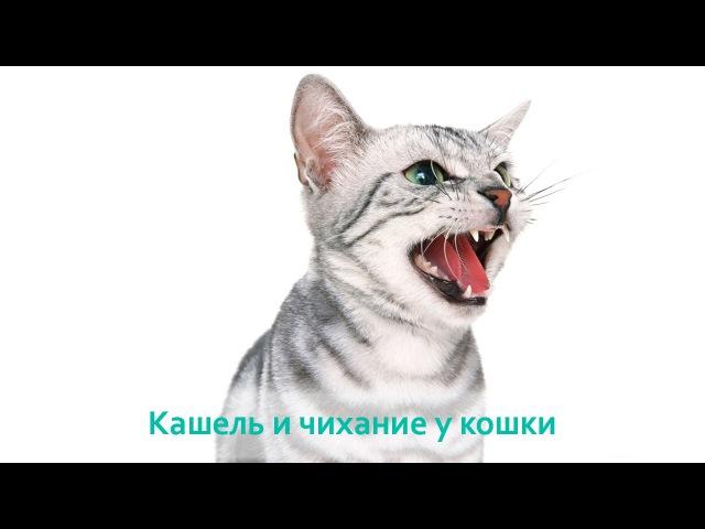Кашель и чихание у кошек