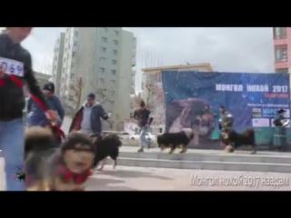 Выставка банхаров в Улан-Баторе, годовалые кобели