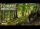 4K Forest Birdsong 2 Birds Sing in the Woods No Loop Realtime Birdsong Relaxing Nature Video