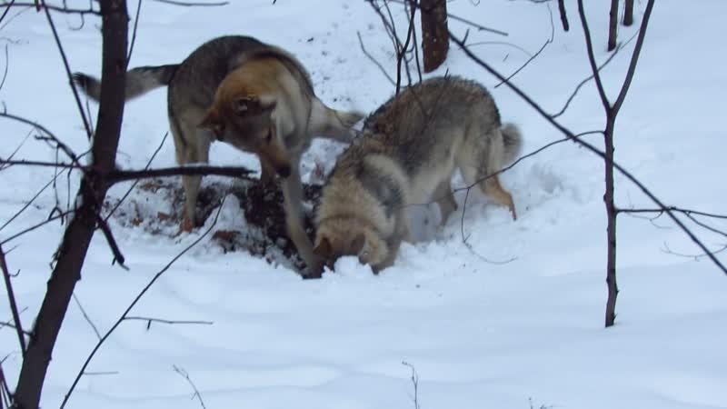 Чехословацкие влчаки и снег