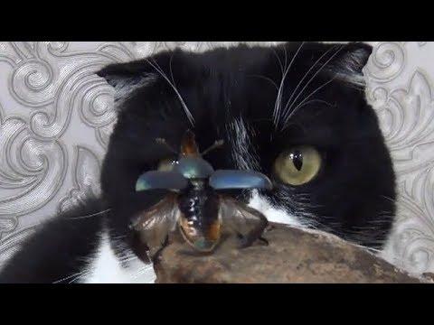 Lamprima adolphinae кот Мушонок