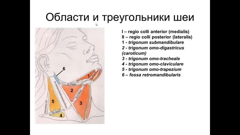 Видеоурок по анатомии Мышцы шеи Фасции шеи Топография шеи проф В А Изранов
