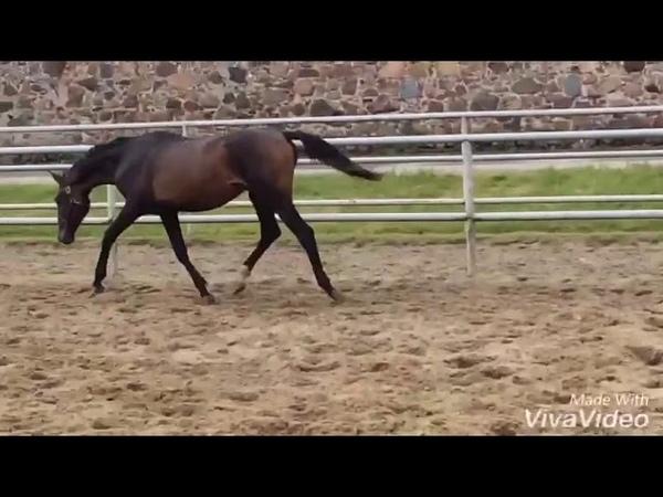 Stallion OSMAN BATYR, 2016 b., trakehn.