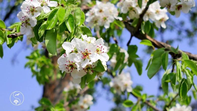 Цветущий сад ВОЛШЕБСТВО РЯДОМ Весна сады зацвели Птицы поют Красивое видео красивая природа
