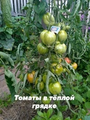 Уважаемые садоводы! Хочу поделиться опытом по выращиванию томатов прошлого лета и рассказать как раз