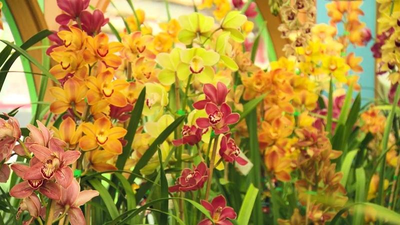 The Garden Gurus Cymbidium Orchids