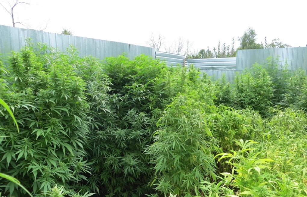 На как даче марихуану выращивать с дикорастущей коноплей бороться как