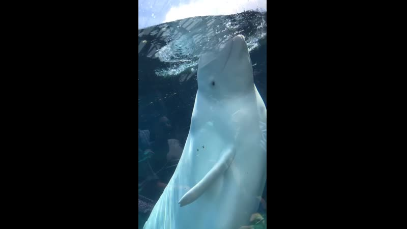 A beluga whale deliberately soaked me and then laughed about it