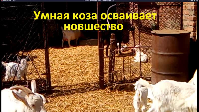 Умная коза осваивает новшество