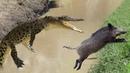 Wild Boar vs Crocodile Pig Suffered Painful Death From Crocodile Teeth