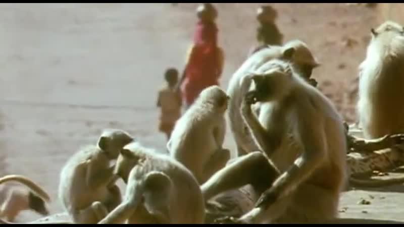 BBC Ребятам о зверятах Обезьяны