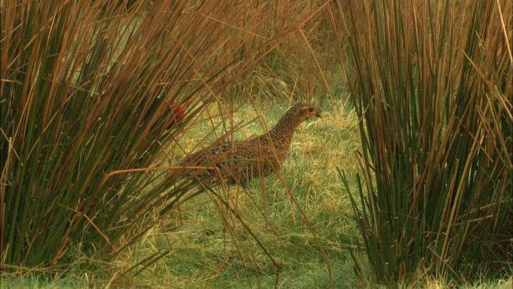 BBC Тайная жизнь птиц 1 Предрассветный хор Познавательный орнитология 2010