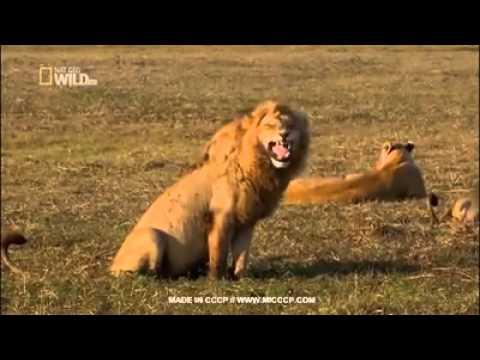 Лев смеётся😀😁😂