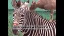 В японском зоопарке козлёнок считает зебру своей мамойCCTV Русский
