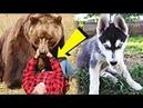 Егерь приютил лайку маленьким щенком А когда собака подросла то спасла его от медведя в тайге